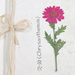 누름꽃카드-국화분홍