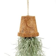 코코넛 화분의 수염틸란