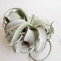 AP675.공중식물 세로그라피카 M