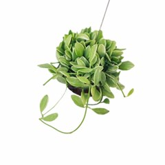 공기정화식물 - 디시디아 화이트