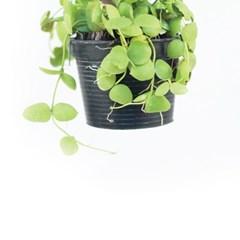 희귀식물(Rare Plant) - 디시디아 넘초크