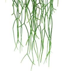 희귀식물(Rare Plant) - 립살리스 화이트