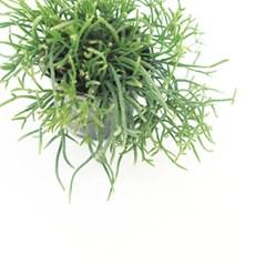 희귀식물(Rare Plant) - 립살리스 프라카룸