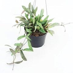 희귀식물(Rare Plant) - 호야HOYA 하와이