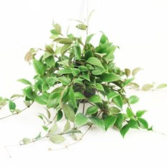 희귀식물(Rare Plant) - 호야HOYA 룩타오