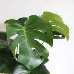공기정화식물 몬스테라화분L + 이태리 마블토분 셋트