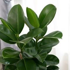 [공기정화식물] 인도고무나무_FRP