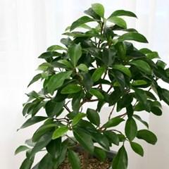 [공기정화식물] 나무산호수_FRP