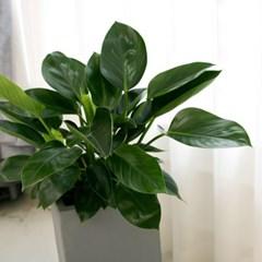 [공기정화식물] 콩고_FRP