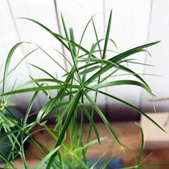 테라화기에 담긴 시페루스 수경화분.실내공기정화식물