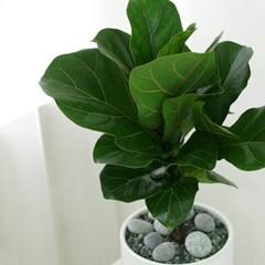[테이블-공기정화식물] 떡갈잎고무나무 심플원형(M)