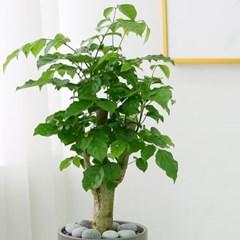 [테이블-공기정화식물] 녹보수 심플원형(M)