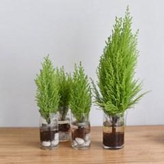 공기정화식물 율마 수경재배 세트