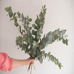 유칼립투스 시네리아 생화 인테리어 식물