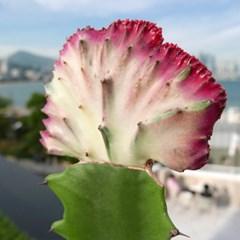 공기정화식물 춘봉철화 선인장