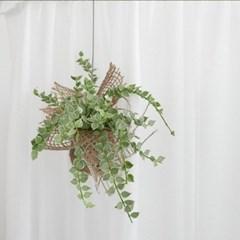 공기정화식물 디시디아화이트 밀리언하트
