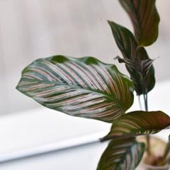 칼라테아 진저 수경 식물 인테리어 소품