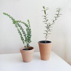 향기로운 삼각잎 아카시아 실내공기정화식물