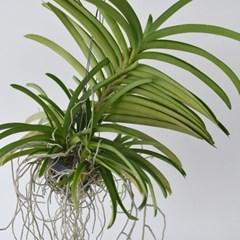 행잉플랜트 반다 서양란 식물 인테리어 소품
