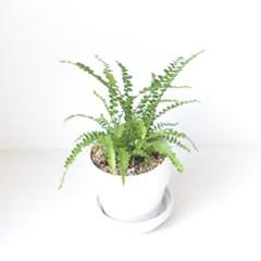 공기정화 식물 더피 고사리 인테리어 화분