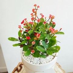 꽃피는 다육식물 꽃기린 화이트화분세트