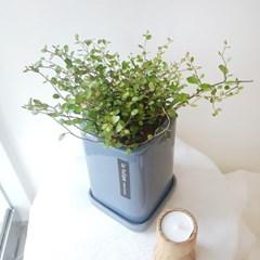 자연스럽게 뻗어나가는 습도조절식물 트리안 화분세트