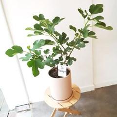 열매맺는 무화과나무 화분