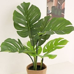 싱그러운 초록 매력으로 몬스테라 중형 화분 - 인테리어조화나무