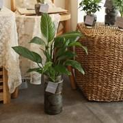 [plant] 공기정화식물 - 스파티필름 수경재배세트_(665901)