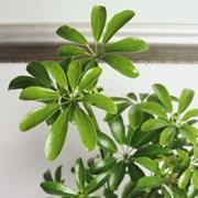 홍콩야자 앤틱 롱쉐이드 수경화분 실내공기정화식물