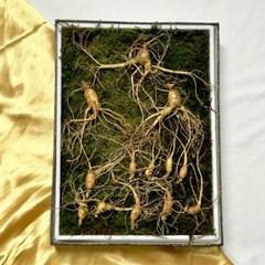 [추석맞이 할인] 직접기른 5~6년근 산양산삼 25뿌리