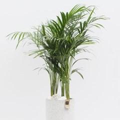 대형화분 아레카야자 (개업화분 승진축하화분 공기정화식물)
