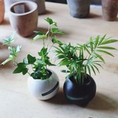 수경재배식물 아이비 테이블야자 블랙앤화이트화분2종