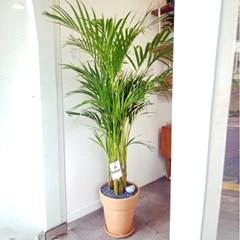 베스트 공기정화식물 아레카야자 대형 토분(서울경기무료퀵배송)