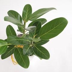 청 뱅갈고무나무