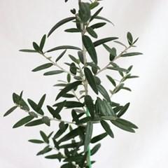 중형 올리브나무 이태리화분