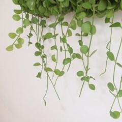 공기정화식물 롱 디시디아