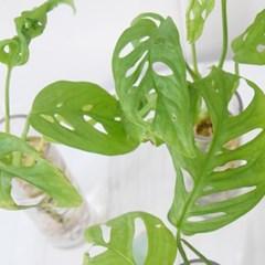 몬스테라를 닮은 오블리코아 수경식물