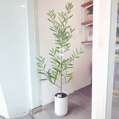 흔들거림이 예쁜 긴잎 아카시아 대형화분 (서울경기퀵배송)