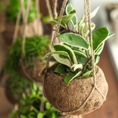 코코넛 행잉 식물 5종_(1289222)