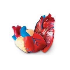 (러닝리소스)LER1902인체심장단면모형/심장/인체심장_(1648775)