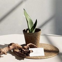 아마란스 공기정화 식물 문샤인 산세베리아 바구니 세트
