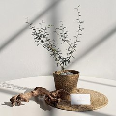 아마란스 공기정화 식물 마오리소포라 바구니 세트