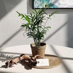 아마란스 공기정화 식물 테이블야자 소형 바구니 세트
