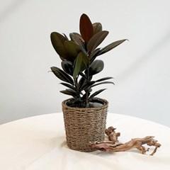 아마란스 공기정화 식물 버건디 고무나무 중형 바구니 세트