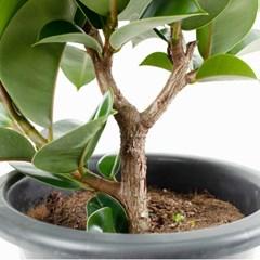 FF8303 고무나무(대)