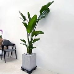 플라랜드 공기정화식물 개업식물 특대형 여인초 극락조 시멘트화분