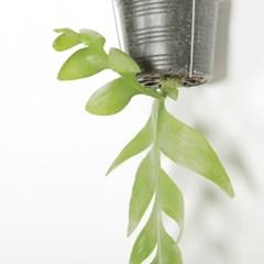 키우기 쉬운 행잉식물 크리소카디움 외대 에어플랜트 공_(1326626)