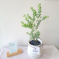 평범한속에 예쁜 삼각잎 아카시아 화이트 화분