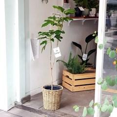 라탄시리즈 여섯번째, 황칠나무 라탄 화분 (수도권지역가능)